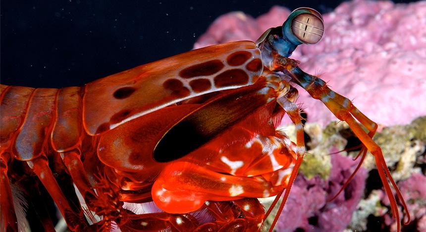 Stomatopod crustacean