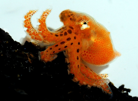 One day old hatchling octopus