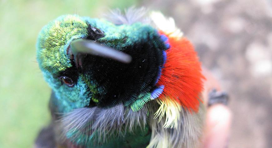 Usambara Double-collared Sunbird